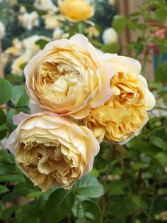 Almost, nearly there: David Austin's finest – the promise of a good year for the roses? Daffodil Flower, Flower Farm, Cactus Flower, Exotic Flowers, Purple Flowers, Bohemian Wedding Flowers, Ronsard Rose, Peonies Garden, Flowers Garden
