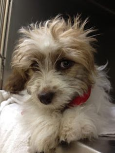 San Marcos CA: $$$ requested from anywhere for Shih Tzu mix puppy Bridget with Congenital Shunt and Also having Seizures