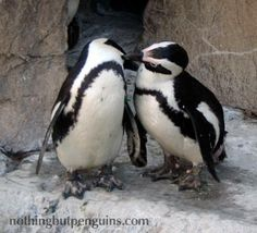 Penguins mate for life :)