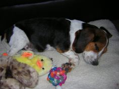 Beagle News, Bugsy has a nose for bed bugs, http://beagledaily.com/bed-bug-sniffing-bugsy-beagle/ #news #dogs