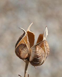 Seed Pod by o-rusty-nail