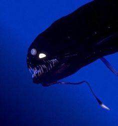 Deep dea fish with bioluminescent spot