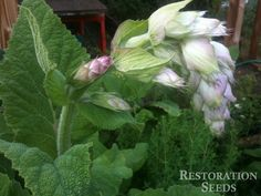 Clary Sage | THE most aromatic medicinal herb.