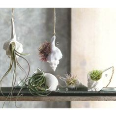 seashell with air plant