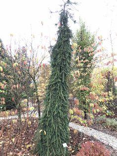 Picea abies Frohburg/ Ель обыкновенная Фробург.  Плакучей формы ель с ярко выраженным прямым стволом  и свисающими побегами по бокам.  Во взрослом состоянии (30 лет)достигает размеров около 3 метров в высоту и 2 метров ширину, медленно растущая.