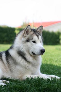 阿拉斯加雪橇犬 Alaskan Malamute
