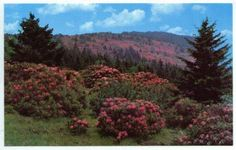 Rhododendron grow wild all over Scotland's countryside