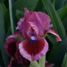 Photo Of Standard Dwarf Bearded Iris 'Feline's Eye' Uploaded By Avmoran Unusual Flowers, Amazing Flowers, My Flower, Colorful Flowers, Beautiful Flowers, Iris Flowers, Types Of Flowers, Spring Flowers, Planting Flowers