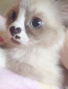 Latest Fluffy Most Beautiful Cats And Kittens If you are looking for Fluffy most beautiful cats and kittens you've come to the right place. We have collect images about Fluffy most beautiful cats . Cat Care Tips Baby Cats Cute Cats Cute Cats Kittens Animals And Pets, Baby Animals, Funny Animals, Cute Animals, Funny Cats, Funniest Animals, Nature Animals, Pretty Cats, Beautiful Cats