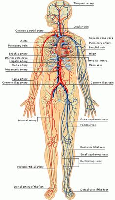 diagram of human body ans picture of body ans medical Human Body Parts Label arteries and veins of the human body arteries inside the skull this contrast x ray