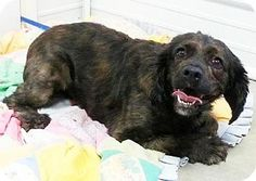 Chester, IL - Cocker Spaniel/Boxer Mix. Meet Sally, a dog for adoption. http://www.adoptapet.com/pet/11793822-chester-illinois-cocker-spaniel-mix