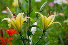 #lily  #flower #flowers #ig_flowers #superb_flowers #FlowerStalking #wp_flower #ユリ #百合