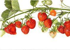 Image result for botanical illustration strawberry