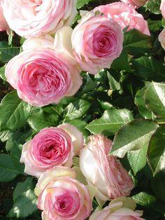 Bildergebnis für mini eden rose
