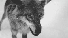 scary gif Black and White wolf beautiful creepy horror animal crazy fear amazing nightmare fight anger wolves teeth insane mad angry spooky freaky twisted psycho