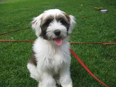 Lucy, Lucy, Lucy! White with brindle Tibetan Terrier at 11 weeks old.