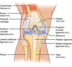 Knee Joint ID List Knee Joint, Unhappy triad = tibial collateral ligament + medial meniscus + anterior cruciate ligament Anatomy Of The Knee, Knee Tendonitis, Parts Of The Knee, Partial Knee Replacement, Human Knee, Cruciate Ligament, Knee Exercises, Human Anatomy, Physical Therapy