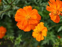 Cosmea oranje, 90-110cm, in mei zaaien