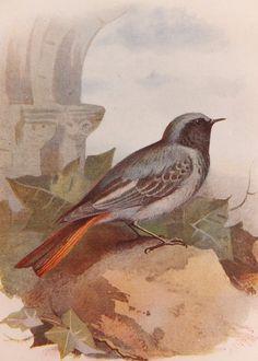 Black Redstart - Antique Bird Print - Vintage Bird Illustration - Bookplate from Swaysland, Familiar Wild Birds