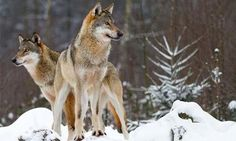 Oppose Welfare Ranching, Not Wolves