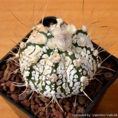 Astrophytum híbrido CAP-SK (A. capricorne x A. asterias cv. Superkabuto)