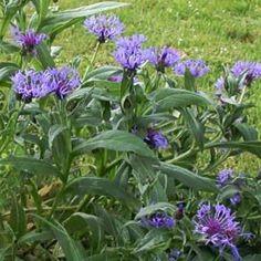 Centaurea montana - Berg-Flockenblume