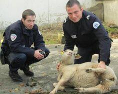 Les policiers ont fait appel aux pompiers pour emmener l'animal.