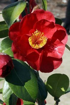 Camellia japonica 'San Dimas' (U.S., 1966)