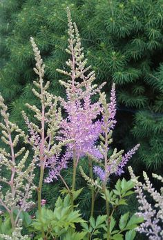 Astilbe my heart! Astilbe, Natural World, Finland, Heart, Nature, Plants, Naturaleza, Planters, Nature Illustration