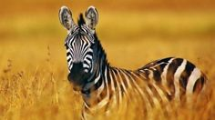 Elijah's all time favorite animal. He notices anything with Zebra print. His room is decorated in Zebra with red accents. Zebra Wallpaper, Tier Wallpaper, Animal Wallpaper, Photo Wallpaper, Zebra Pictures, Animal Pictures, Animals And Pets, Baby Animals, Cute Animals