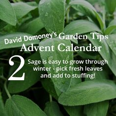 David Domoney's Garden Tips Advent Calendar day 2 - how to grow sage in winter and pick fresh leaves for stuffing!