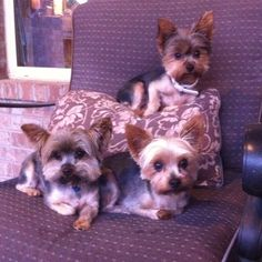 Yorkies remind me of my 3 Yorkies! I have 2 males and 1 female.