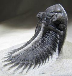 Comura cometa  Fossil Trilobite Group of Devonian from Morocco