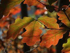 Oak leaves 20D0038993 by Cristian-M on DeviantArt