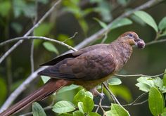 Macropygia phasianella) The slender billed or brown cuckoo dove