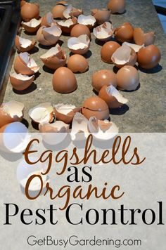 Start collecting eggshells to kill all those nasty garden pests this summer. Say what? That's right, crushed eggshells can be used as an organic pesticide. Crushed eggshells get under the hard shells of beetles, and acts like bits of glass to cut them up and kill them. You can't beat free organic pest control. Read more here... | GetBusyGardening.com