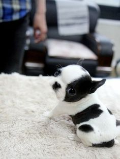 It's a palm sized puppy! #black #white #puppy #baby #dog #little #cute #adorable
