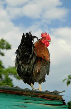 --Challenged rooster: 'don t mess with the mighty ass: i ll show you feathers! Baby got back' ..And he breaks into a wild step dance