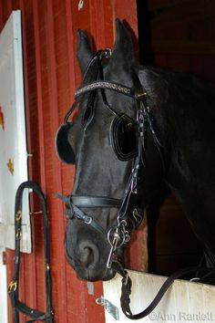 Friesian with tack. - horse