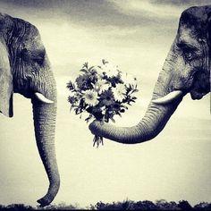 Elephants in love :$