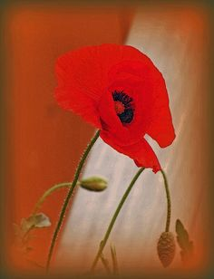 """""""Red Poppy And Buds"""" by Kay Novy http://kay-novy.artistwebsites.com/featured/red-poppy-and-buds-kay-novy.html"""