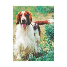 Welsh Springer Spaniel Premium Wrapped Canvas. Zazzle's gloss canvas is made from an additive-free cotton-poly blend and features a special ink-receptive coating that protects the printed surface from cracking when stretched. Made with a tight weave ideal for any photography or fine art, our instant-dry gloss canvas produces prints that are fade-resistant for 75 years or more.