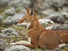 Dogs are going extinct: 8 most endangered canid species http://www.treehugger.com/slideshows/natural-sciences/dogs-are-going-extinct-8-most-endangered-canid-species/