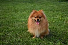 Pomeranian Best Small Dog Breeds, Best Small Dogs, Popular Dog Breeds, Best Dogs, Puppy Images, Cute Puppy Pictures, Yorkshire Terrier, Spitz Pomeranian, Teacup Pomeranian