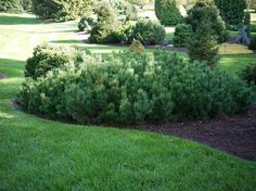 Mugo pine with nice mounded shape | Pinus mugo variety Pumilio | Dwarf Pine| zones 2-8 | Variable size - height 3-5' x width 6-10' in 10 years | Evergreen conifer | Slow growing | Full Sun | Once established needs only occasional watering | Deer resistant | Maintaining Mugo Pines