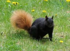 Black and Red Squirrel by genealogyherald on DeviantArt.