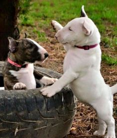 Uplifting So You Want A American Pit Bull Terrier Ideas. Fabulous So You Want A American Pit Bull Terrier Ideas. Perros Bull Terrier, Chien Bull Terrier, Pitbull Terrier, Terrier Dogs, Terrier Mix, Cute Puppies, Cute Dogs, Dogs And Puppies, Corgi Puppies