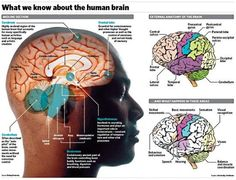 Scientists performing experimental brain surgery on a man aged 50 have stumbled across a mechanism that could unlock how memory works. Speech Language Pathology, Speech And Language, Brain Pictures, Memory Words, Brain Anatomy, Speech Therapy, Occupational Therapy, Disorders, Memories