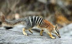 numbat, also known as the banded anteater, marsupial anteater, or walpurti, is a marsupial found in Western Australia. Its diet consists almost exclusively of termites. Wikipedia   via Sanctuary project for rare animals