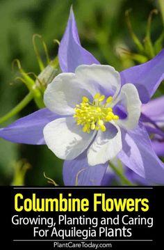 Columbine flower - Columbine Flowers Growing, Planting and Caring For Aquilegia Plants – Columbine flower Growing Flowers, Planting Flowers, Flowers Garden, Planting Plants, Flower Gardening, Landscaping Plants, Garden Plants, Garden Spaces, Landscaping Ideas
